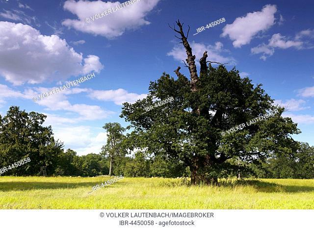 650 year old oak tree, summer, Middle Elbe Biosphere Reserve, Dessau, Saxony-Anhalt, Germany