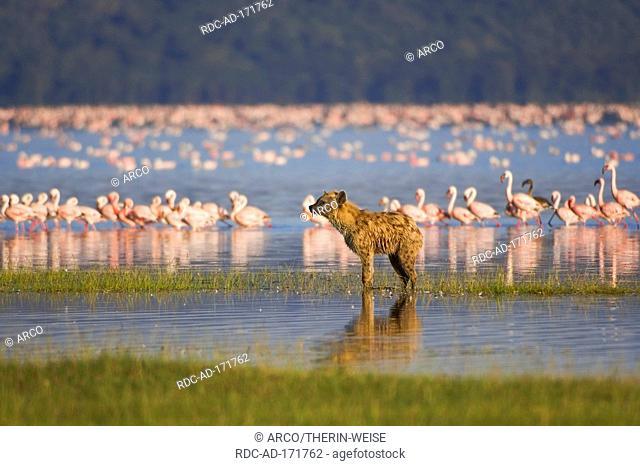 Spotted Hyaena, Lake Nakuru national park, Kenya, Crocuta crocuta