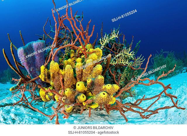 Three different sponge genera . .. ..Dünner Seilschwamm (rot).Karibik, Kuba
