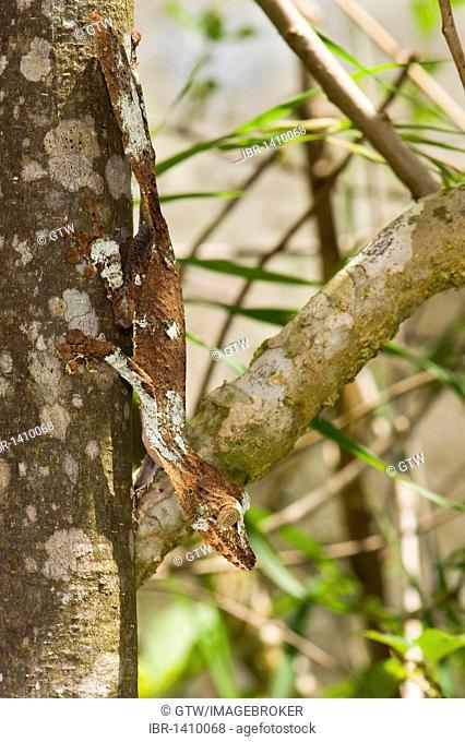 Mossy leaf-tailed gecko (Uroplatus sikorae), endemic, Madagascar, Africa
