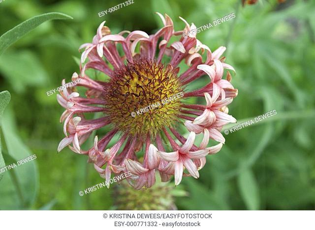 Pink Gaillardia annual hybrid