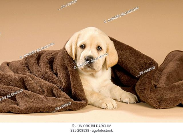 Labrador Retriever. Puppy lying under a brown blanket. Germany
