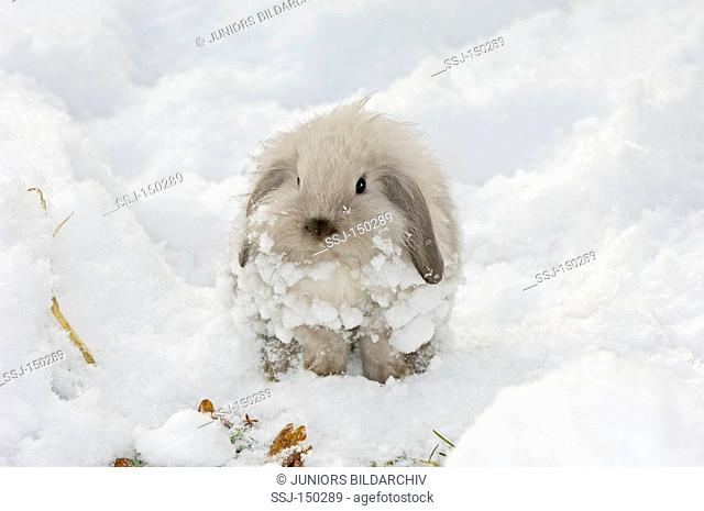 young dwarf rabbit in snow restrictions: animal guidebooks, calendars