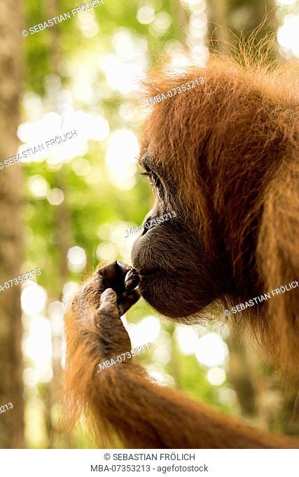Orangutan in portrait