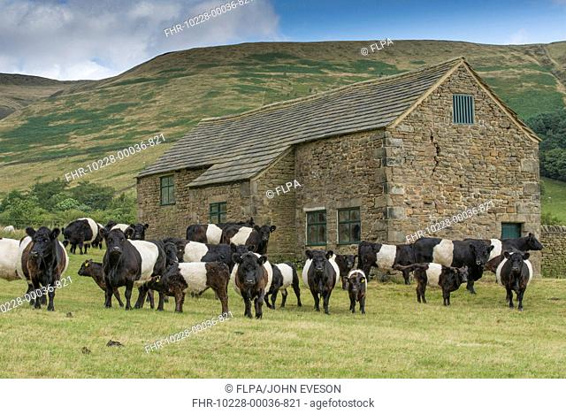 Domestic Cattle, Belted Galloway, bull, cows and calves, herd standing in pasture beside stone field barn, Edale, Peak District N.P