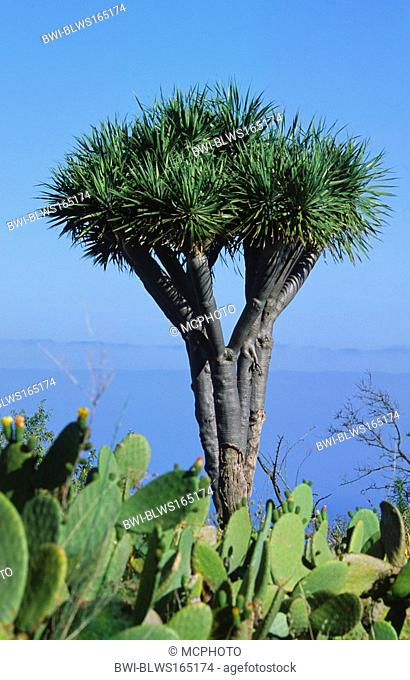 tear dragon's blood Dracaena draco, Dragon tree close to Las Tricias, endemic, with introduced Opuntias in the foreground, Canary, La Palma
