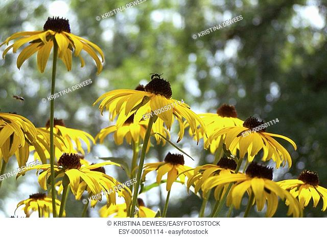 A group of black eyed susans being visited by bees