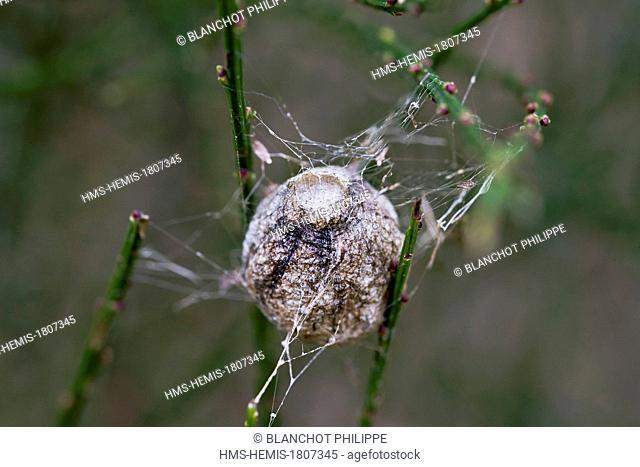 France, Morbihan, Araneae, Araneidae, Araignée, Wasp spider (Argiope bruennichi), cocoon