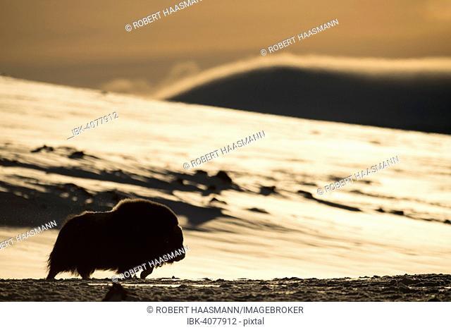 Muskox (Ovibos moschatus) in backlight, Dovrefjell-Sunndalsfjella National Park, Norway