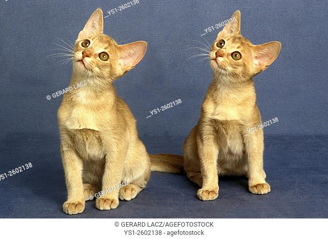 Fawn Abyssinian Domestic Cat, Kittens