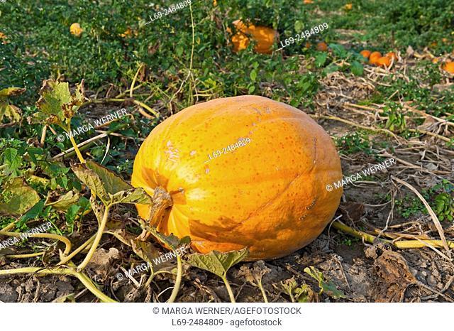 Pumpkin, Cucurbita maxima, on a field ready for harvest, Schleswig-Holstein, Deutschland