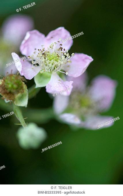 shrubby blackberry (Rubus fruticosus), blooming, Germany
