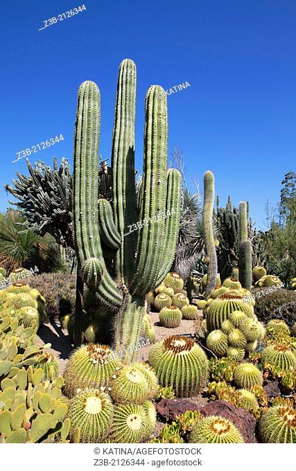 Cacti in full sun in the Desert Garden of Huntington Gardens and Library, San Marino, California, USA