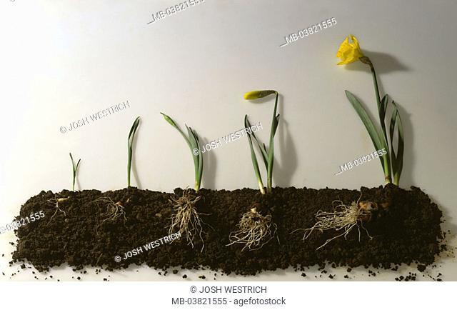 Earth, daffodils, growth phases,  different,   Nature, plants, botany, fertility, growth, development, representation, stages, phases, roots, bulb, onion plant