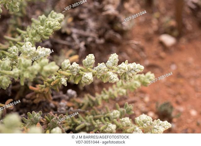 Teucrium charidemi is a subshrub endemic to Cabo de Gata Natural Park, Almeria province, Andalucia, Spain