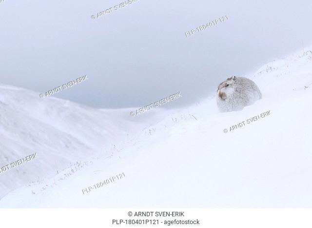 Mountain hare / Alpine hare / snow hare (Lepus timidus) in white winter pelage resting during snowstorm in the Scottish Highlands, Scotland, UK