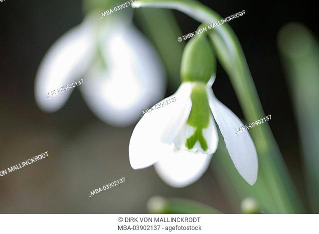 Snowdrops, Galanthus nivalis, blooming, close-up, fuzziness, plant, amaryllis-plants, flowers, spring-flowers, blooming, prime, symbol, season, spring, spring