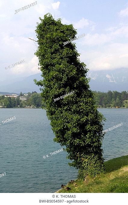 Blejsko Jezero, Lake Bled, tree at the shore overgrown with clamberer, Slovenia, Northern Slovenia, Bled