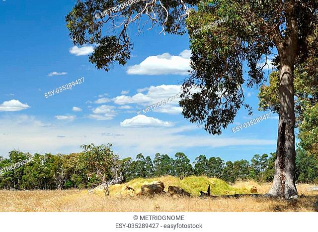Gum trees in summer farmland scene