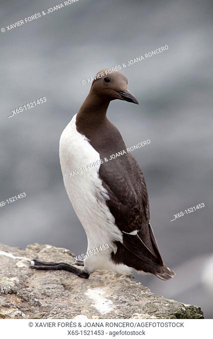 Common Guillemot - Uria aalge -, Treshnish isles near Isle of Mull, Argyll and Bute, Scotland
