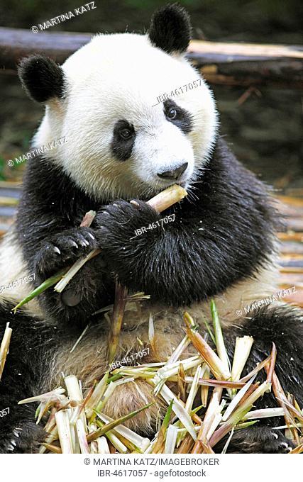 Panda bear or Giant Panda (Ailuropoda melanoleuca) eats bamboo shoots, Chengdu Research Base of Giant Panda Breeding, Chengdu, Sichuan, China