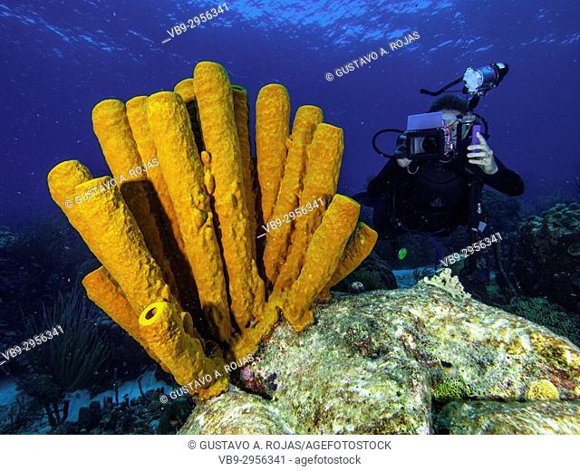 Caribbean Sea Los Roques, woman Scuba-Diver Tour, Underwater, Venezuela, Yellow Tube Sponge -Aplysina fistularis-