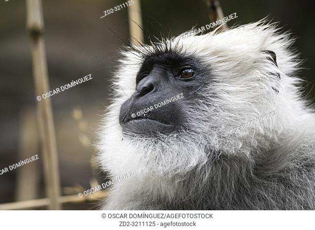 Nepal Gray Langur (Semnopithecus schistaceus) portrait. These langurs eat fruits in local orchards. Pangot. Nainital district. Uttarakhand. India