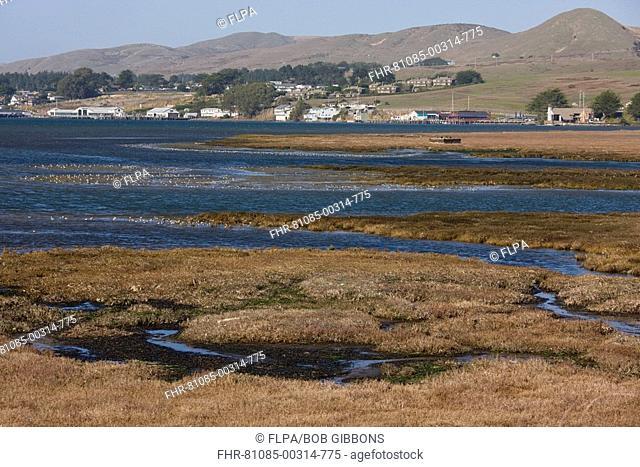 View of saltmarsh and estuarine habitat, with large flocks of waders and waterfowl, Bodega Bay, North California, U S A