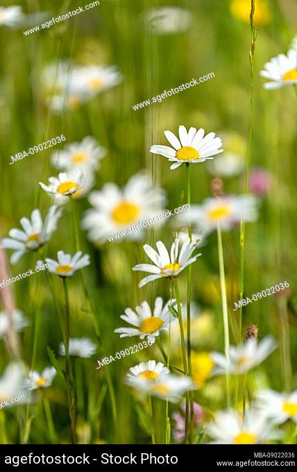 White alps-aster blossom