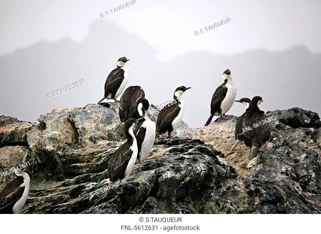 Colony of Adelie Penguins, Paulet Island, Antarctica