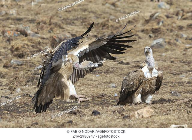 Group of Griffon Vultures (Gyps fulvus) in SiChuan, China