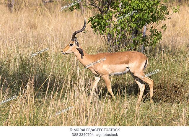 Africa, Southern Africa, Bostwana, Moremi National Park, Impala (Aepyceros melampus), adult male