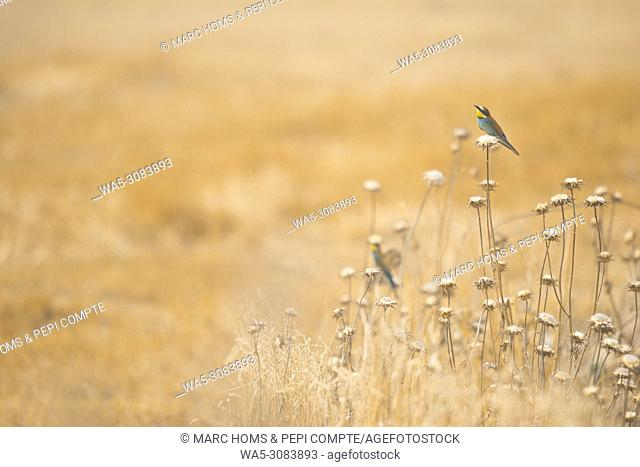 European Bee Eater on a yellow field in Garrotxa, Catalonia, Spain