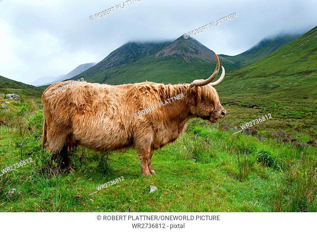 United Kingdom, Scotland, Highland, Isle of Skye, On the Isle of Skye, Scottish Highland Cattle, Highland Cattle or Kyloe
