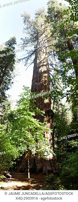 Sequoia in Big Tree national Park