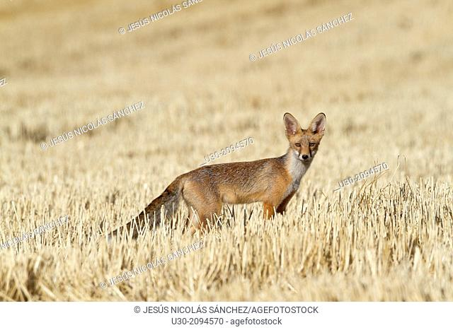 Fox walking in a wheat field in summer. Salamanca Province. Castilla y León. Spain