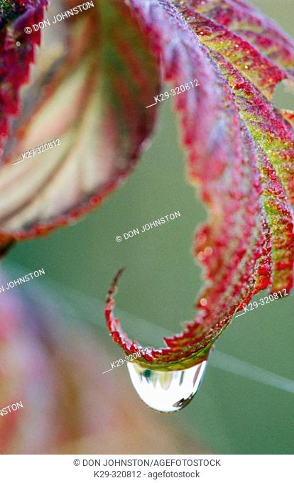 Detail of Wild red raspberry (Rubus idaeus) leaf in autumn with morning dew drop