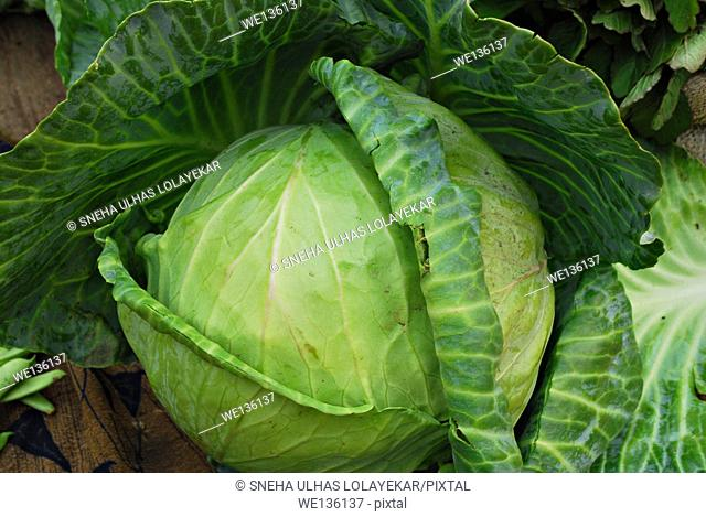 Cabbage, Brassica oleracea var capitata,Poona,Mahrahtra,India