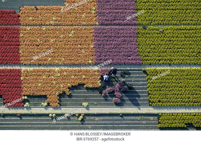 Aerial view, flower farming, gardeners harvesting pot plants, North Rhine-Westphalia, Germany