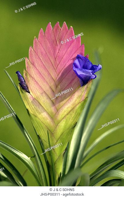 Tillandsia , Tillandsia cyanea , Germany , Europe , bloom