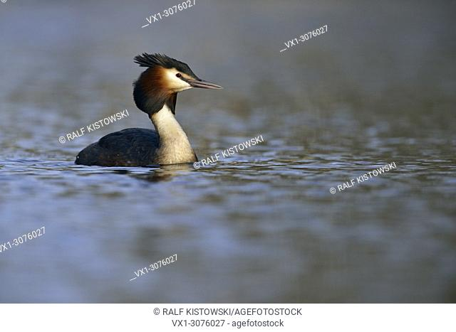 Great Crested Grebe ( Podiceps cristatus ) swimming on nice colored water surface, wildlife, Europe