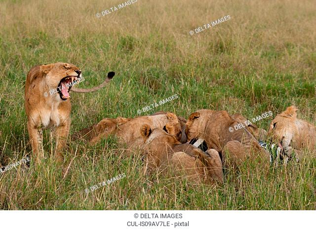 Marsh pride lions (Panthera leo) feeding on zebra, Masai Mara, Kenya, Africa