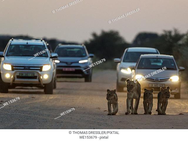 Lion (Panthera leo). Female with three cubs walking on a road. At dawn. The cars behind just left a camp for the morning game drive