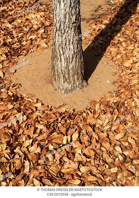 Mopane leaves (Colophospermum mopane) - In September at the end of the dry season the dry and distinctively butterfly-shaped leaves have fallen down and are...