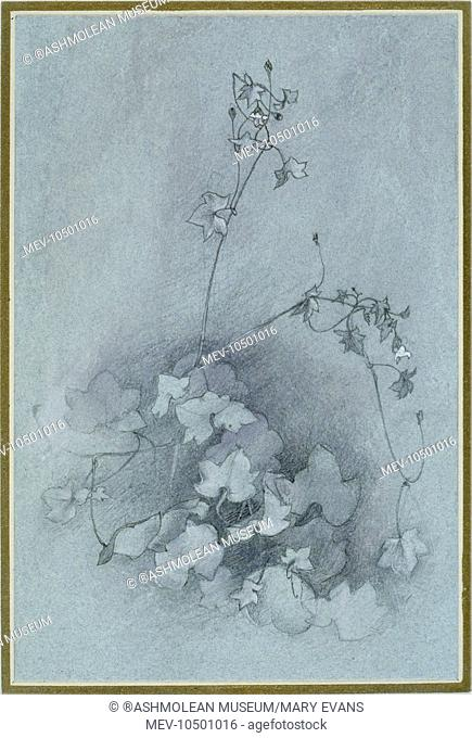 Ivy-leaved toadflax (Oxford Ivy). John Ruskin