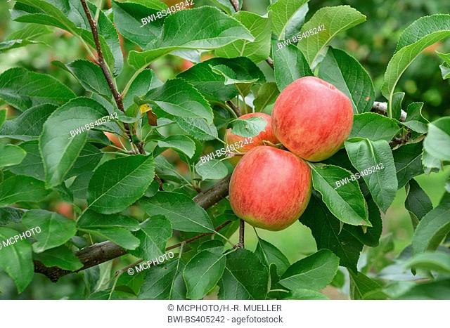 apple tree (Malus domestica 'Rebella', Malus domestica Rebella), aplles on a tree, cultivar Rebella, Germany