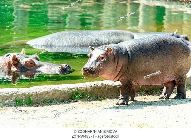 Baby hippopotamus at zoo