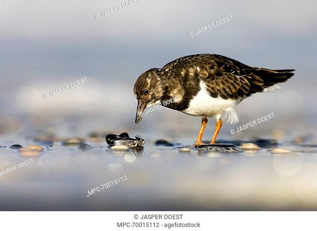 Ruddy Turnstone (Arenaria interpres) foraging on beach, Hoek van Holland, Zuid-Holland, Netherlands