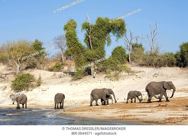 African Elephants (Loxodonta africana) breeding herd drinking at the bank of the Chobe River, Chobe National Park, Botswana