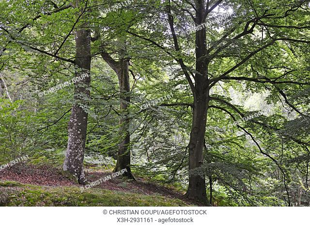Forest of Rambouillet, Haute Vallee de Chevreuse Regional Natural Park, Yvelines department, Ile-de-France region, France, Europe